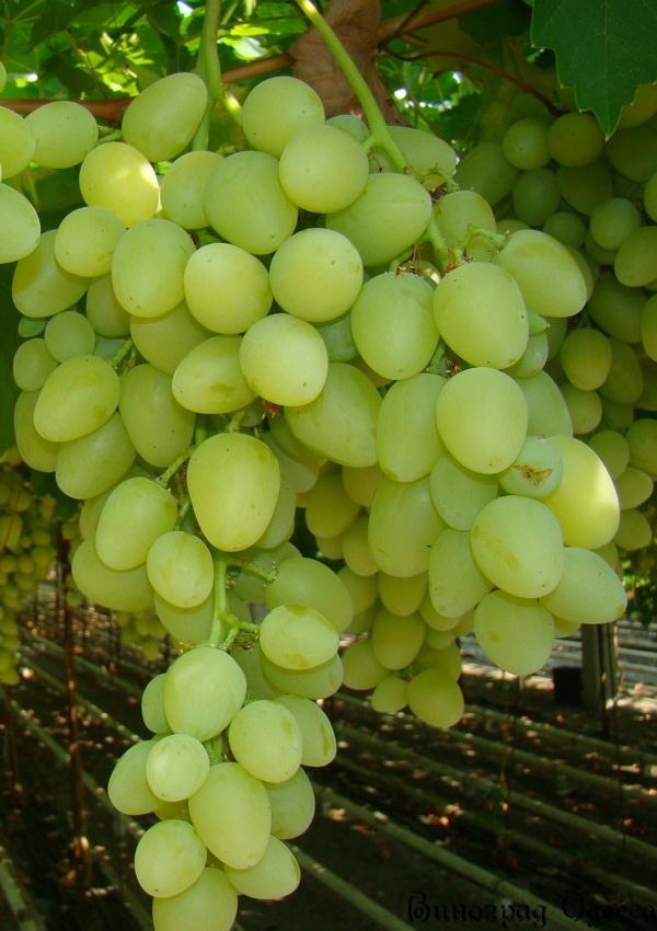 виноград слобожанский описание сорта фото отзывы