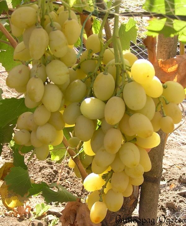 Виноград благовест  описание