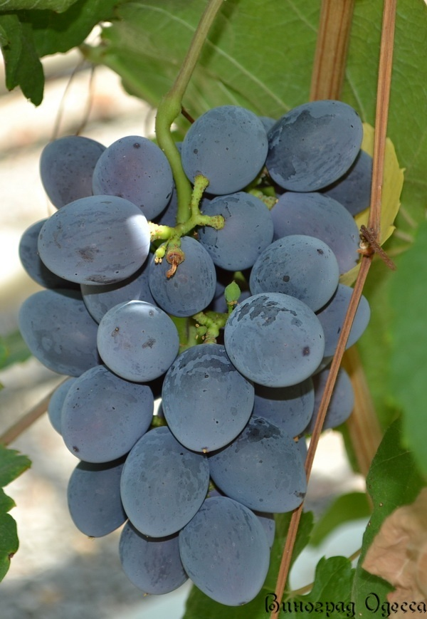 Виноград руслан  описание