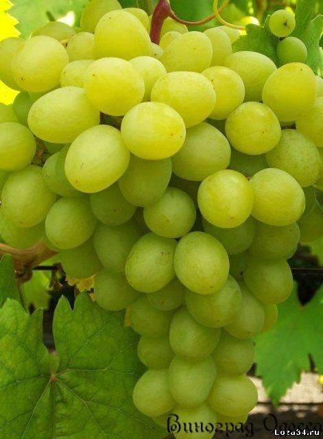 сорт винограда валёк фото и описание отзывы